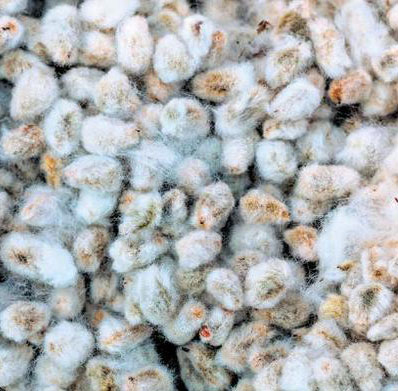Cotton Seed Wholesale Price in India