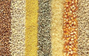 Wheat Grain Manufacturer and Supplier in India